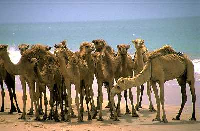 """""""El Gobierno hará caso al Supremo y atenuará las penas a los camellos"""" EL PAIS 31.X.05"""